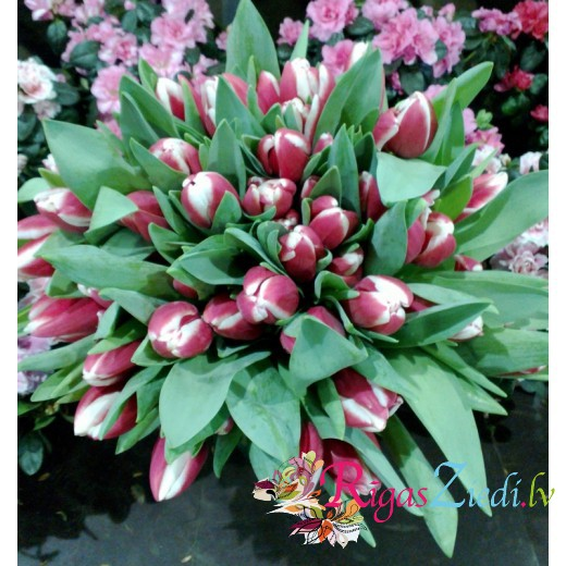 51 red with white tulips