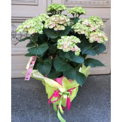 Hydrangea in decorative wrapping paper