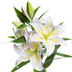 White lilies. Lovely aroma!